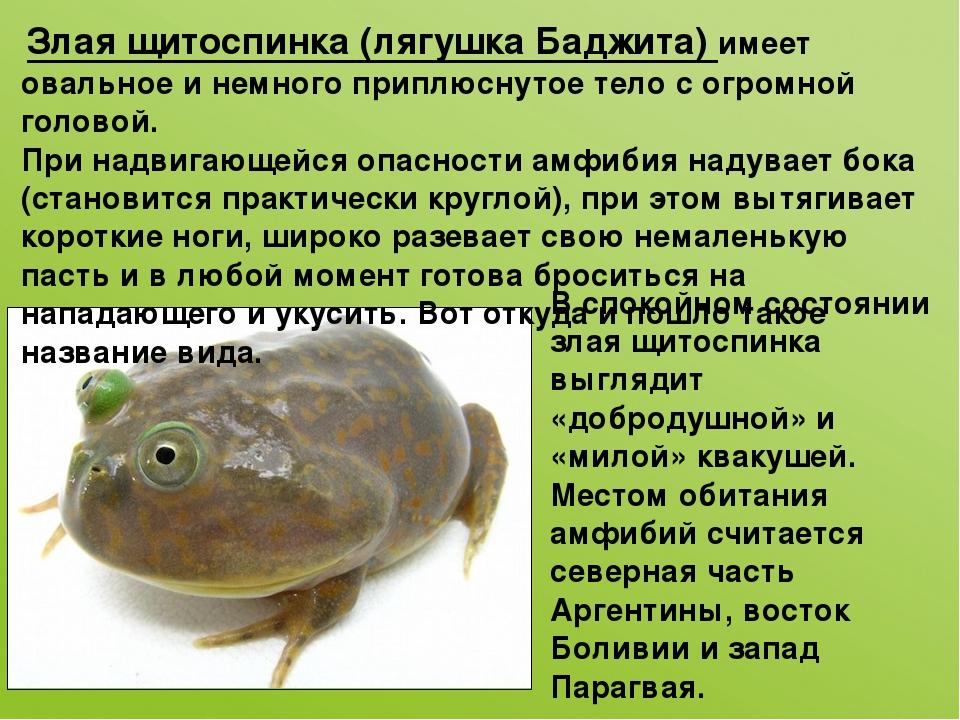 Злая щитоспинка(лягушка Баджита) имеет овальное и немного приплюснутое тело...