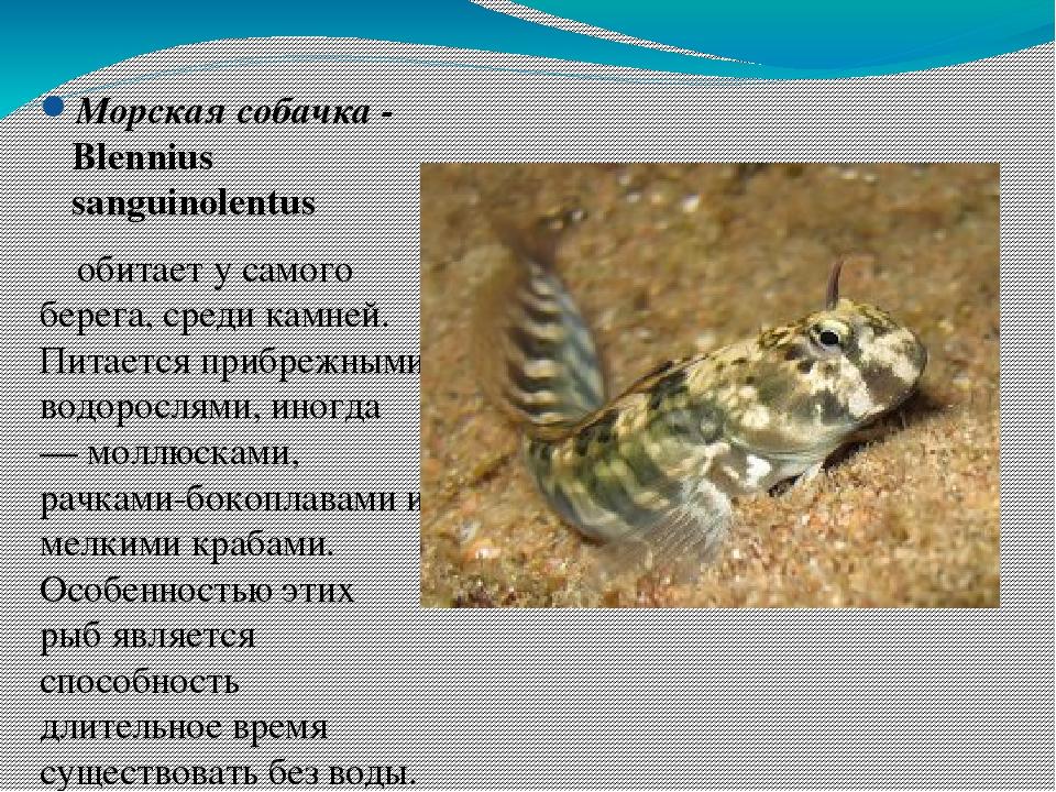 вот покажи картинки рыбы которые водятся в черном море дороги уже