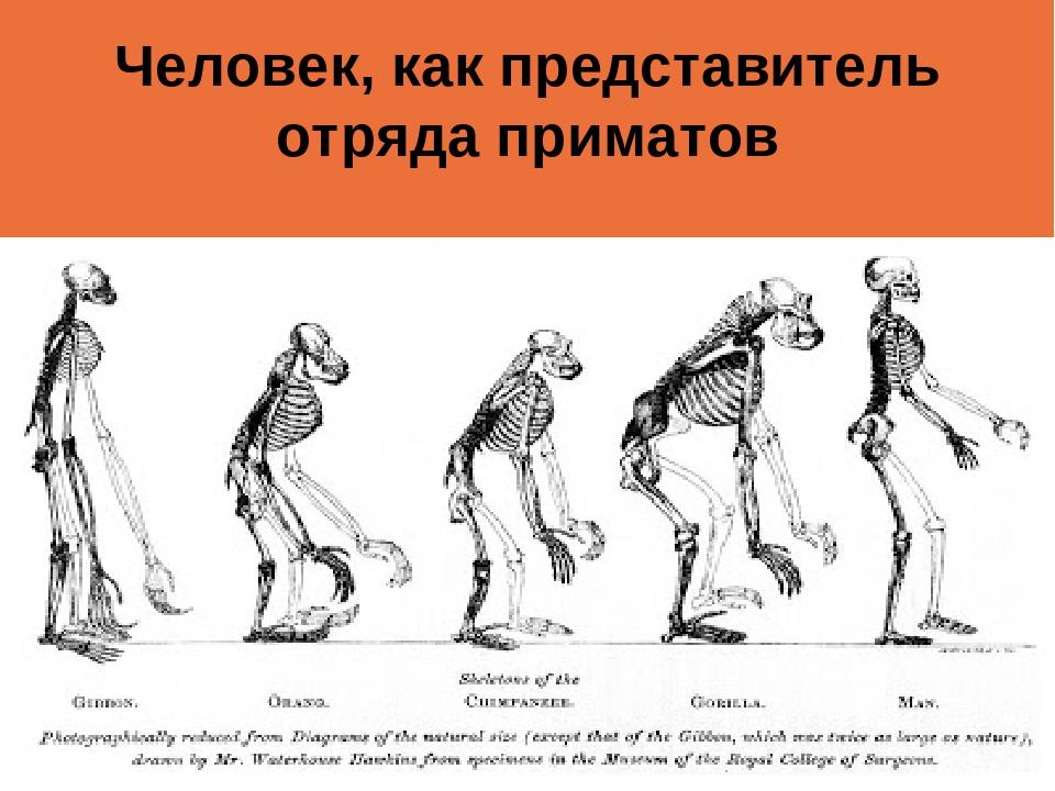 Человек, как представитель отряда приматов