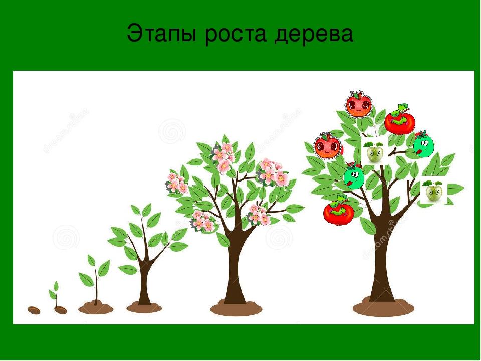 Картинки с изображением этапов роста плодового дерева для детей