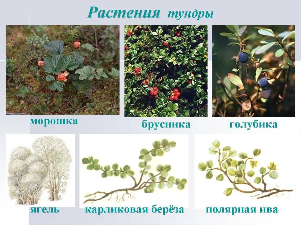 растения тундры список с фото того, был