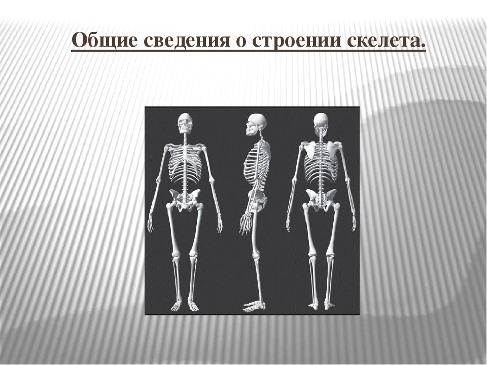 Общие сведения о строении скелета.