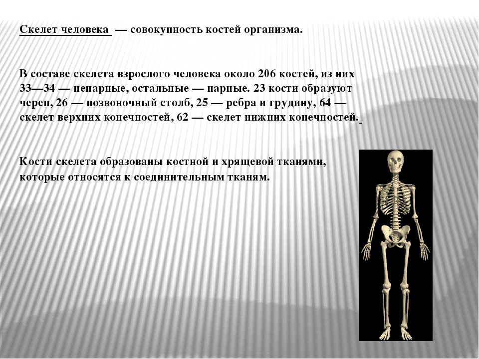 Скелет человека — совокупность костей организма. В составе скелета взрослого...