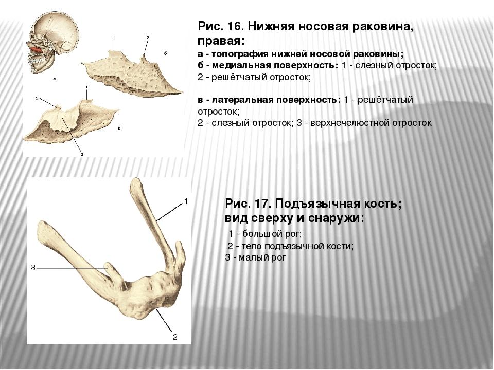 Рис. 16. Нижняя носовая раковина, правая: а - топография нижней носовой раков...