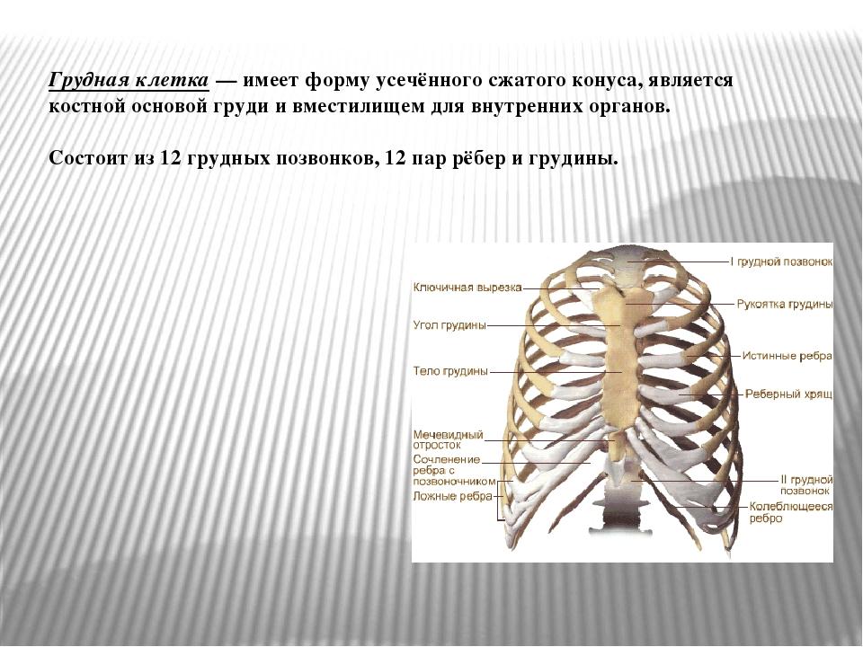 Грудная клетка— имеет форму усечённого сжатого конуса, является костной осно...
