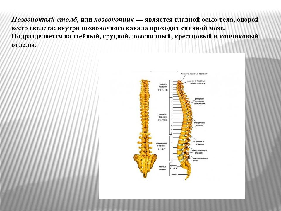 Позвоночный столб, или позвоночник— является главной осью тела, опорой всего...