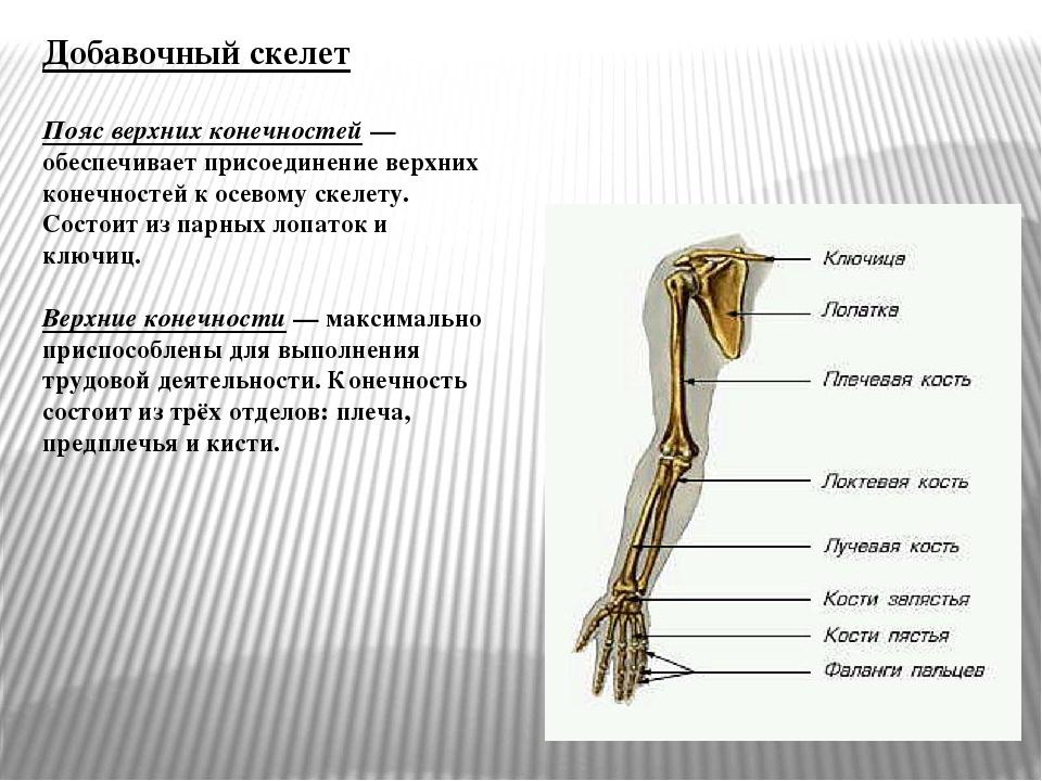 Добавочный скелет Пояс верхних конечностей— обеспечивает присоединение верхн...
