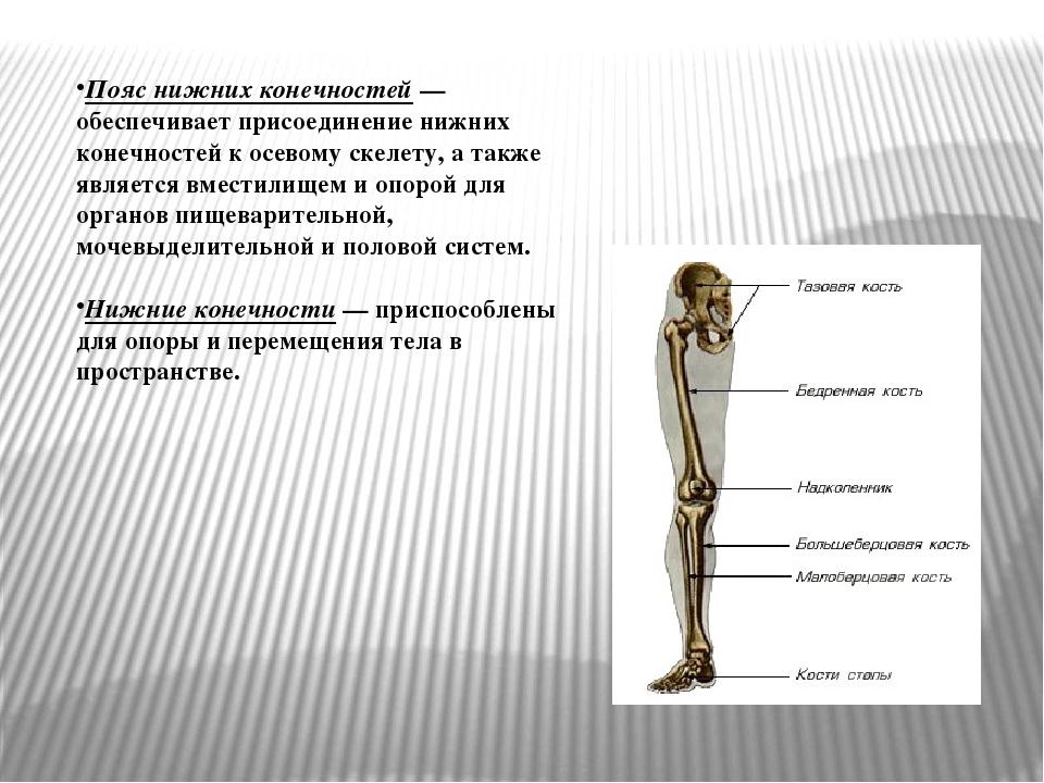 Пояс нижних конечностей— обеспечивает присоединение нижних конечностей к осе...