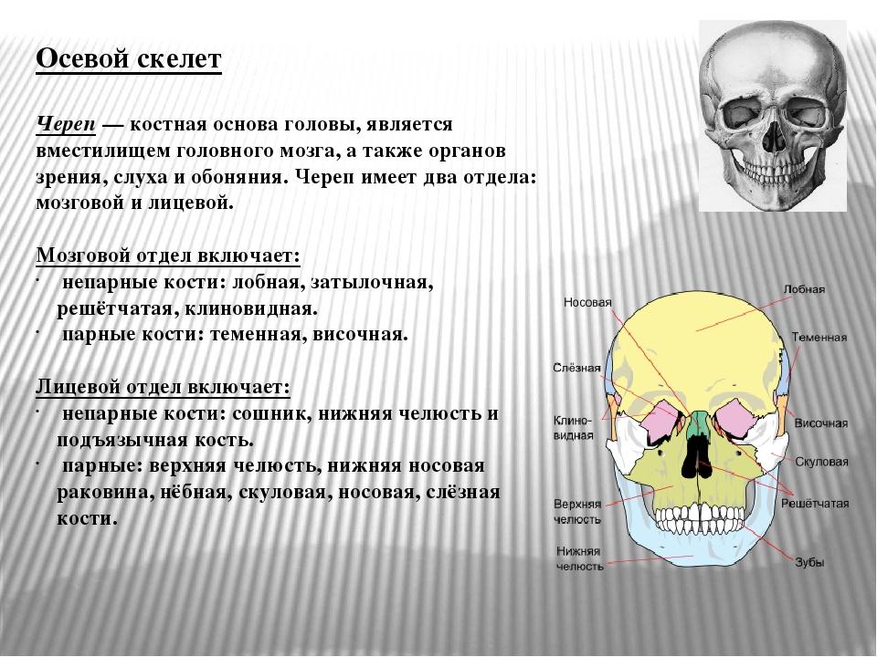 Осевой скелет Череп— костная основа головы, является вместилищем головного м...