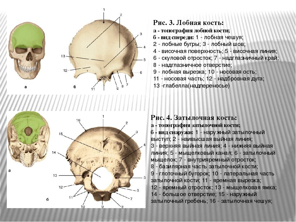 Рис. 3. Лобная кость: а - топография лобной кости; б - вид спереди: 1 - лобна...