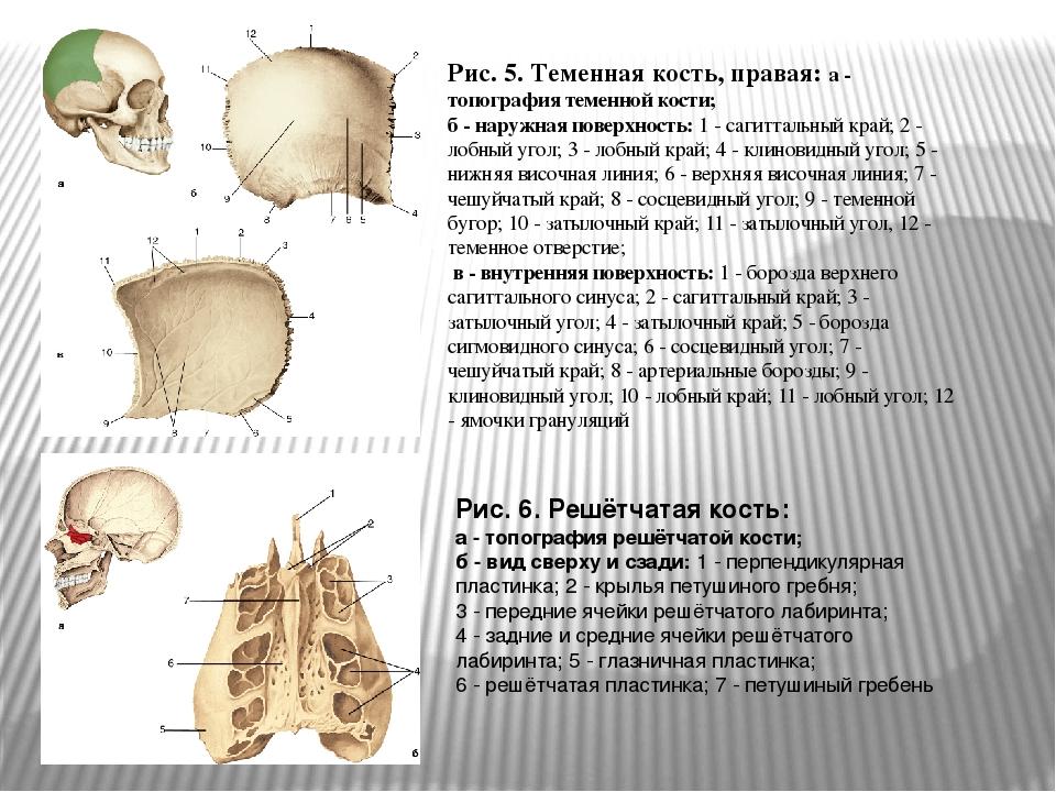 Рис. 5. Теменная кость, правая: а - топография теменной кости; б - наружная п...