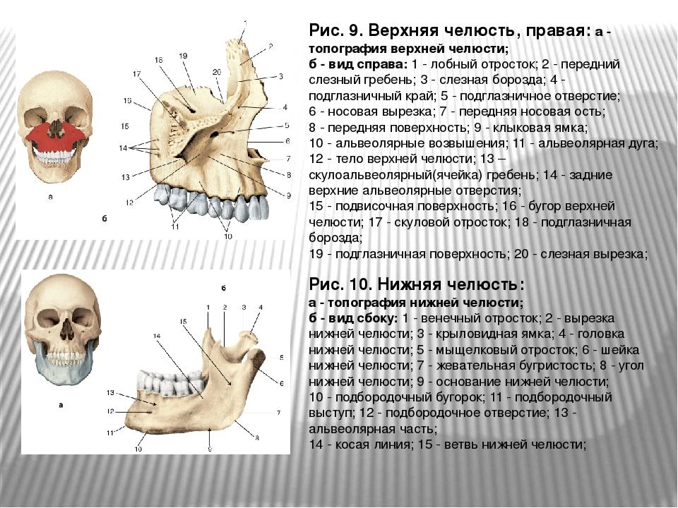 Рис. 9. Верхняя челюсть, правая: а - топография верхней челюсти; б - вид спра...