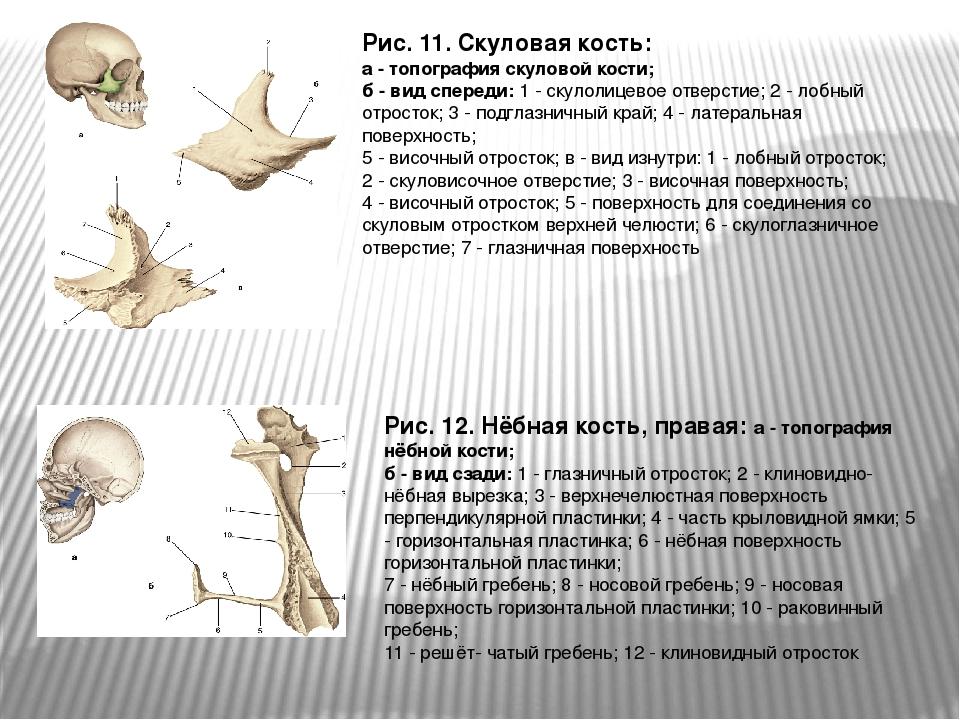 Рис. 11. Скуловая кость: а - топография скуловой кости; б - вид спереди: 1 -...