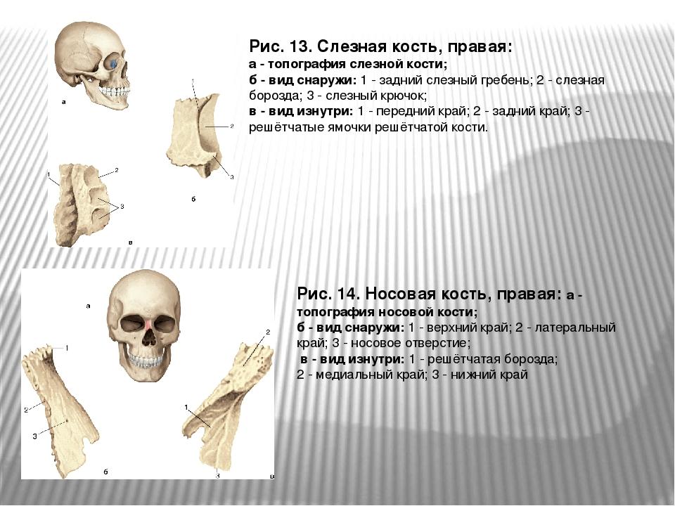 Рис. 13. Слезная кость, правая: а - топография слезной кости; б - вид снаружи...