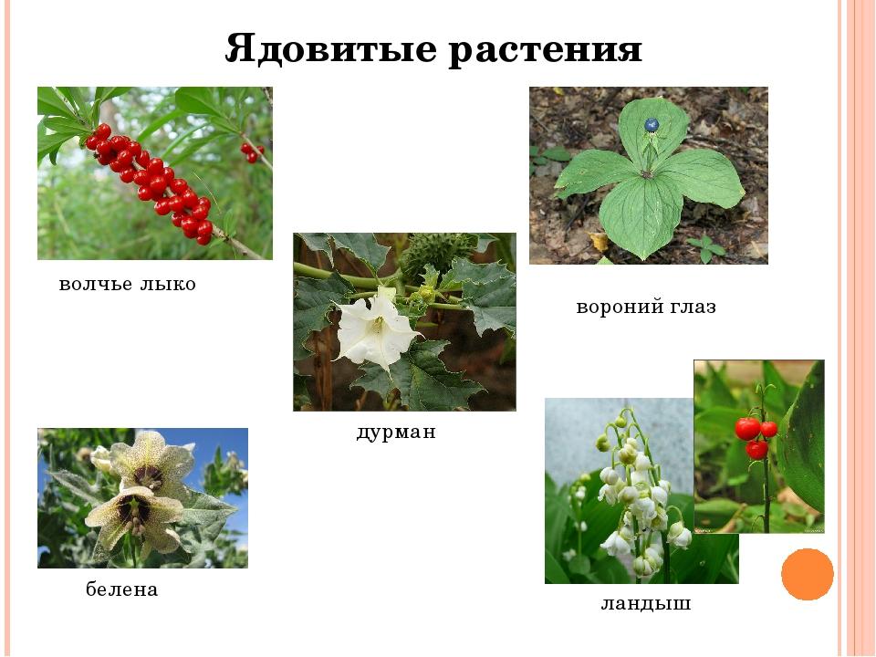 Картинки ядовитые растения для животных
