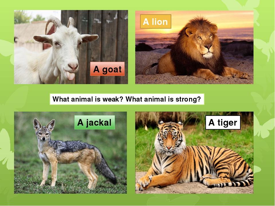 animal farm strong vs weak This week's essay: george orwell's animal farm: snowball versus napoleon leadership  in george orwell's animal farm.