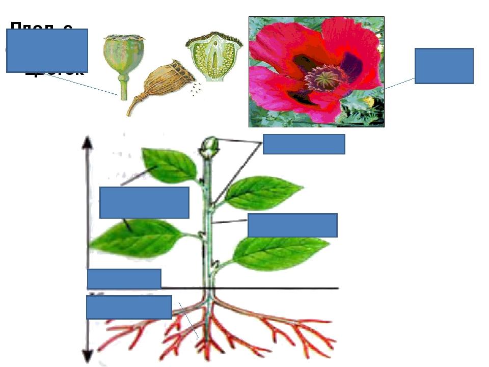 Плод с семенами Цветок