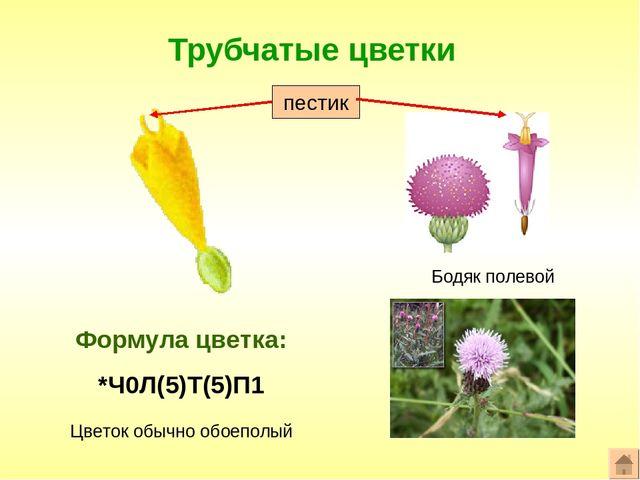 57Строение схема цветка василька