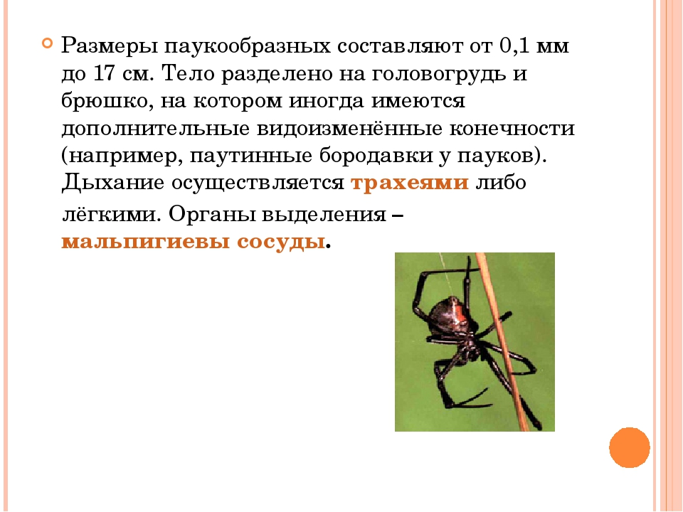 Размеры паукообразных составляют от 0,1мм до 17см. Тело разделено на голово...