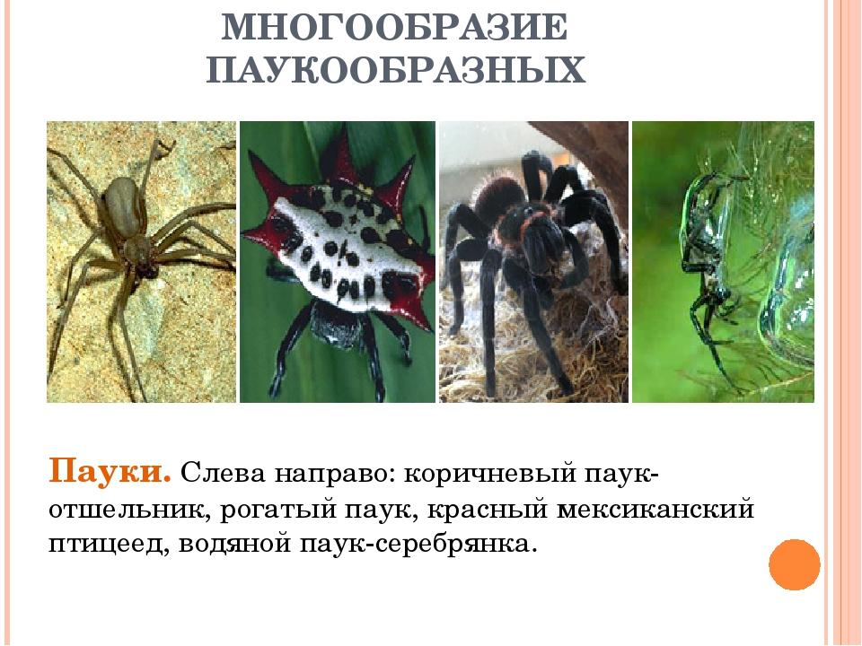 МНОГООБРАЗИЕ ПАУКООБРАЗНЫХ Пауки. Слева направо: коричневый паук-отшельник, р...