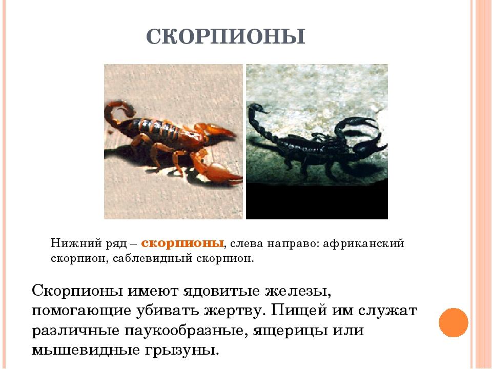 СКОРПИОНЫ Нижний ряд – скорпионы, слева направо: африканский скорпион, саблев...