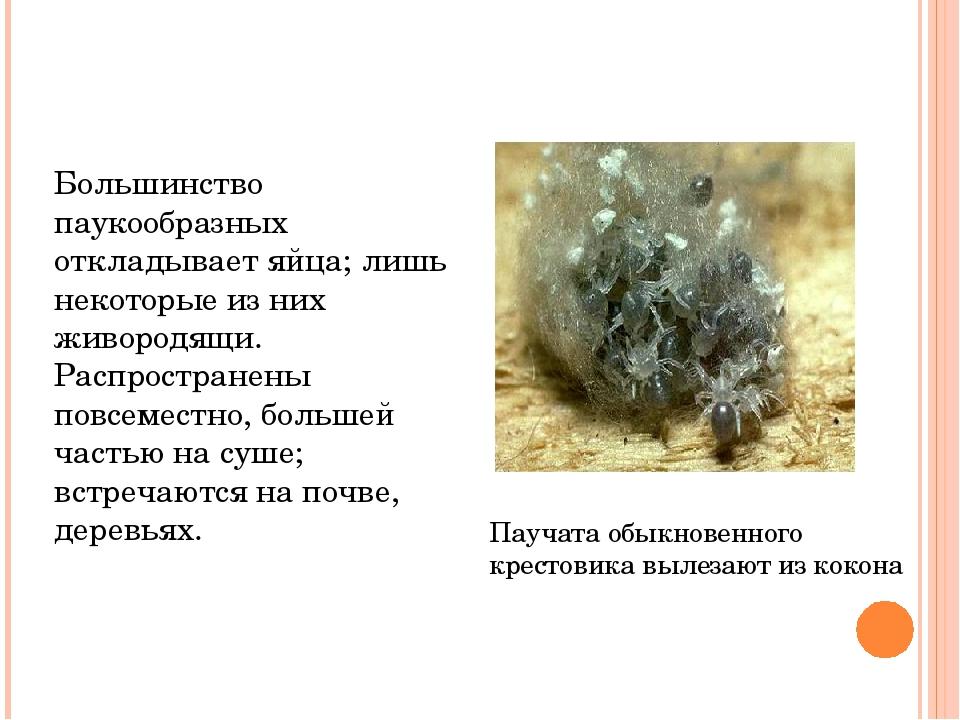 Большинство паукообразных откладывает яйца; лишь некоторые из них живородящи....
