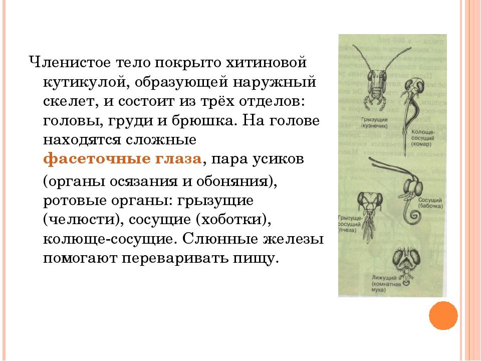 Членистое тело покрыто хитиновой кутикулой, образующей наружный скелет, и сос...