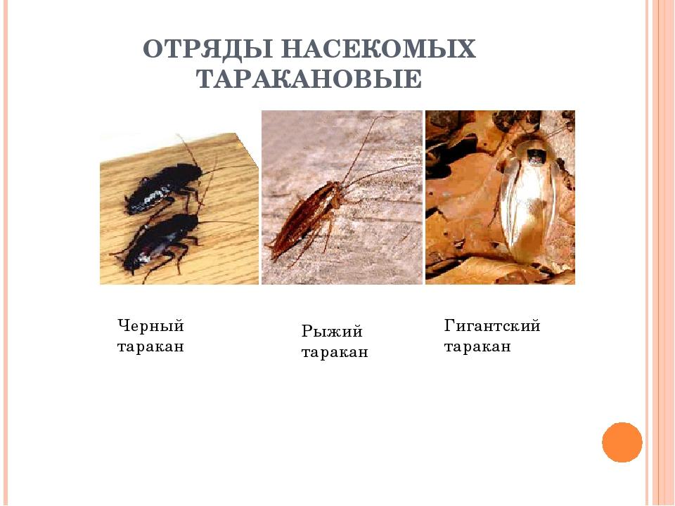 ОТРЯДЫ НАСЕКОМЫХ ТАРАКАНОВЫЕ Черный таракан Рыжий таракан Гигантский таракан