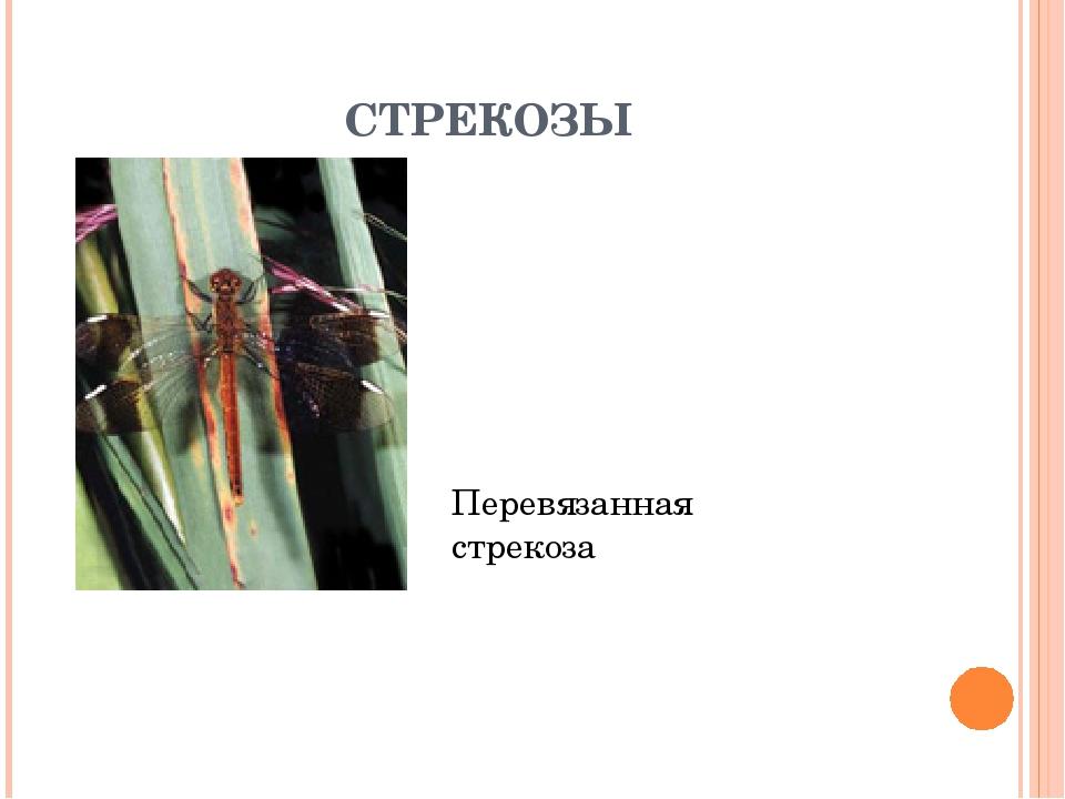 СТРЕКОЗЫ Перевязанная стрекоза