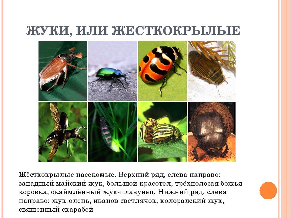 ЖУКИ, ИЛИ ЖЕСТКОКРЫЛЫЕ Жёсткокрылые насекомые. Верхний ряд, слева направо: за...
