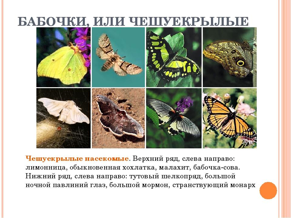 БАБОЧКИ, ИЛИ ЧЕШУЕКРЫЛЫЕ Чешуекрылые насекомые. Верхний ряд, слева направо: л...