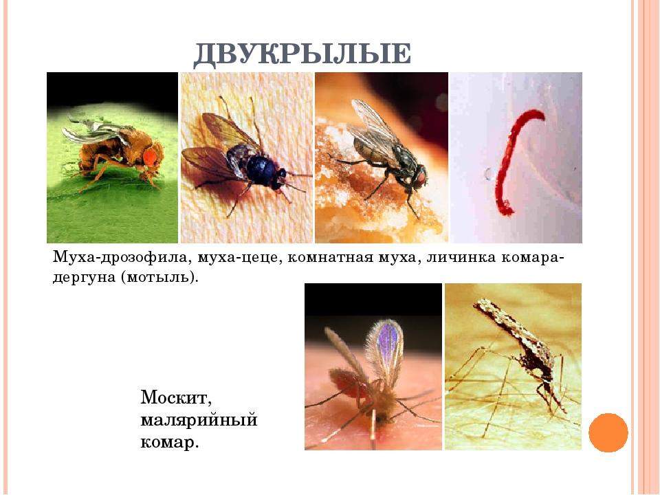 ДВУКРЫЛЫЕ Муха-дрозофила, муха-цеце, комнатная муха, личинка комара-дергуна (...