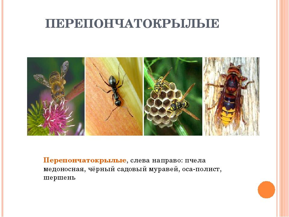 ПЕРЕПОНЧАТОКРЫЛЫЕ Перепончатокрылые, слева направо: пчела медоносная, чёрный...