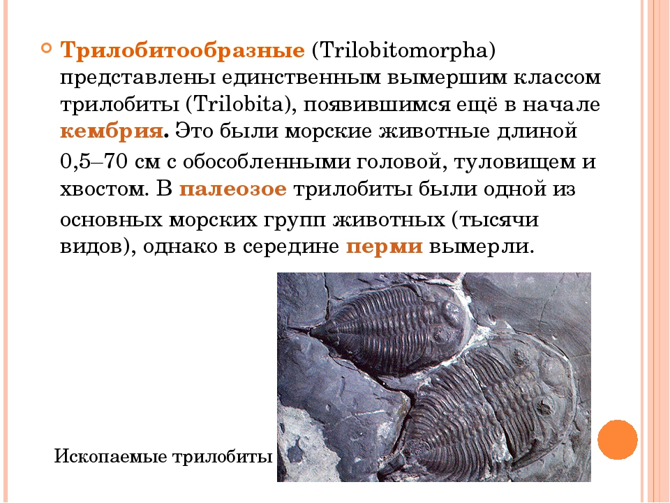 Трилобитообразные (Trilobitomorpha) представлены единственным вымершим классо...