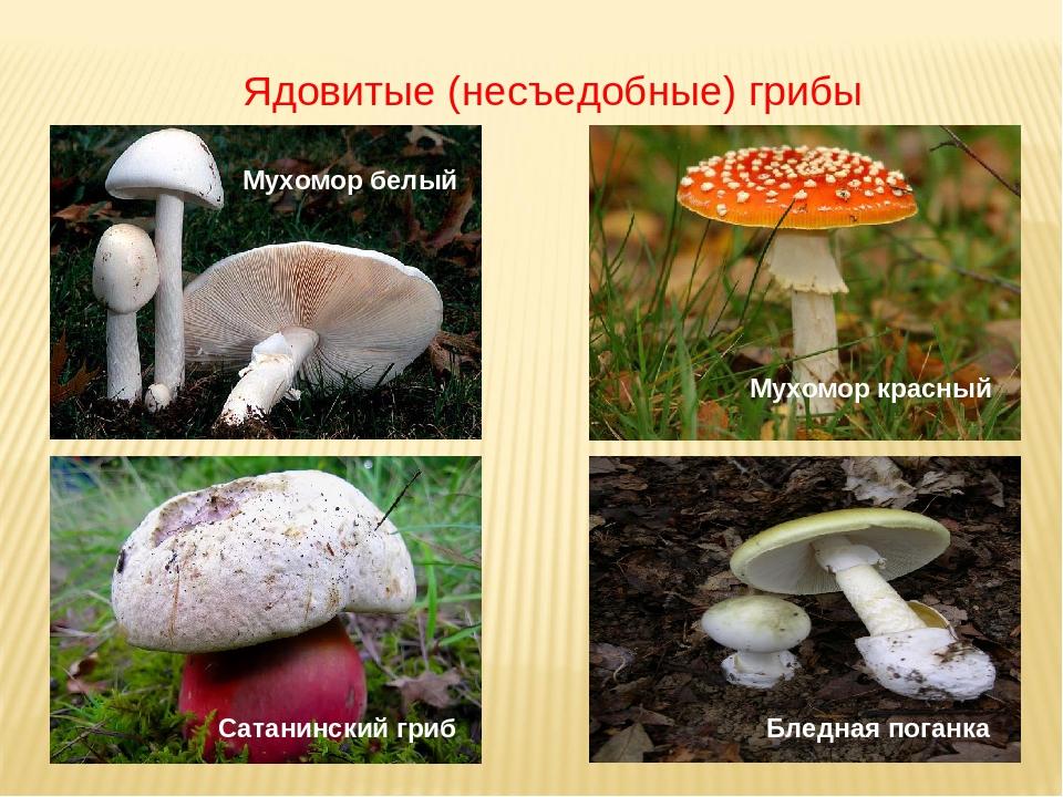 фото и описание несъедобных грибов мисхора так знаменита