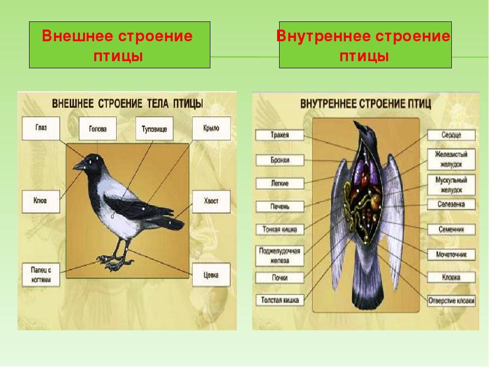 эстетических картинка внутреннего строения птицы это так