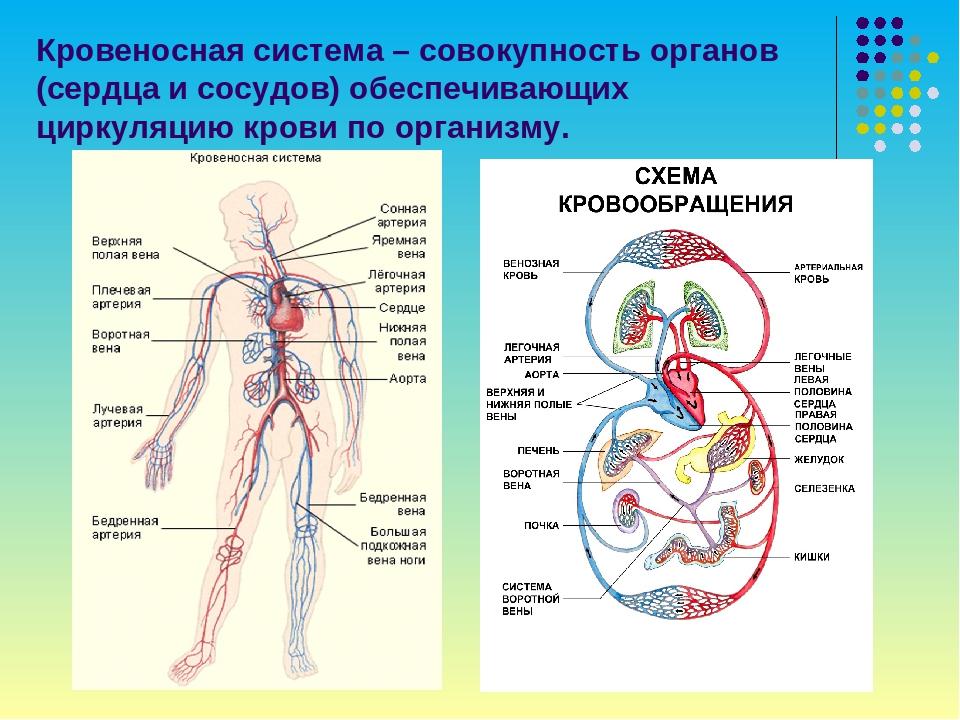 картинка кровеносной системы человека сосуды и сердце
