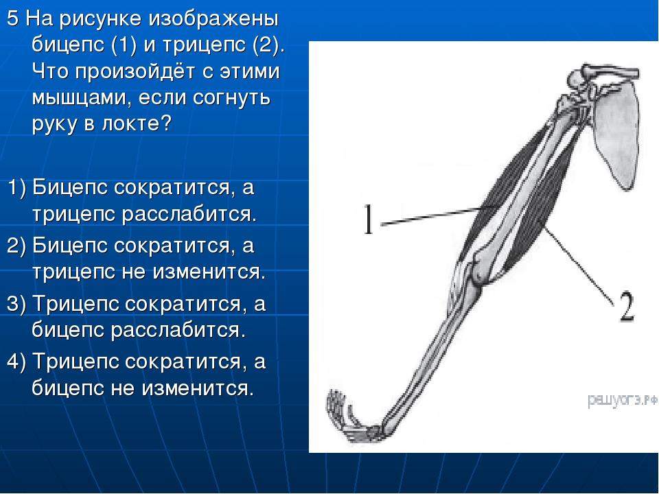 5 На рисунке изображены бицепс (1) и трицепс (2). Что произойдёт с этими мышц...