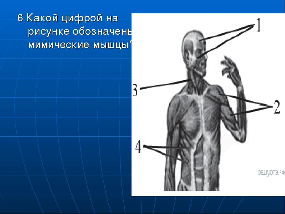 6 Какой цифрой на рисунке обозначены мимические мышцы?