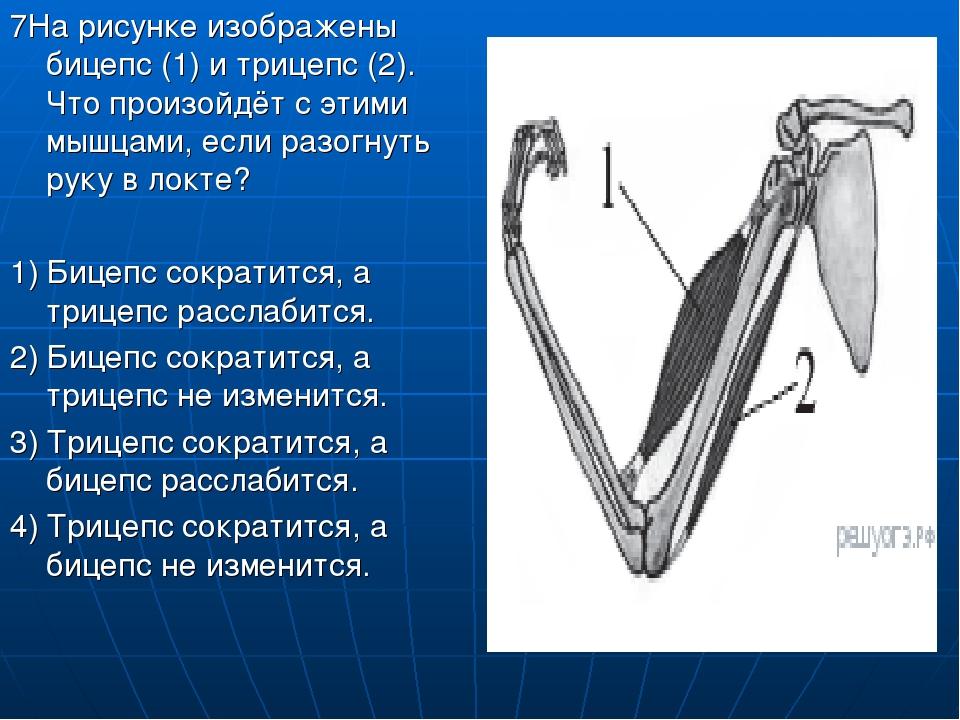 7На рисунке изображены бицепс (1) и трицепс (2). Что произойдёт с этими мышца...