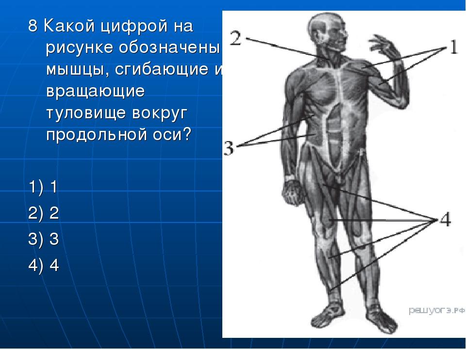 8 Какой цифрой на рисунке обозначены мышцы, сгибающие и вращающие туловище во...