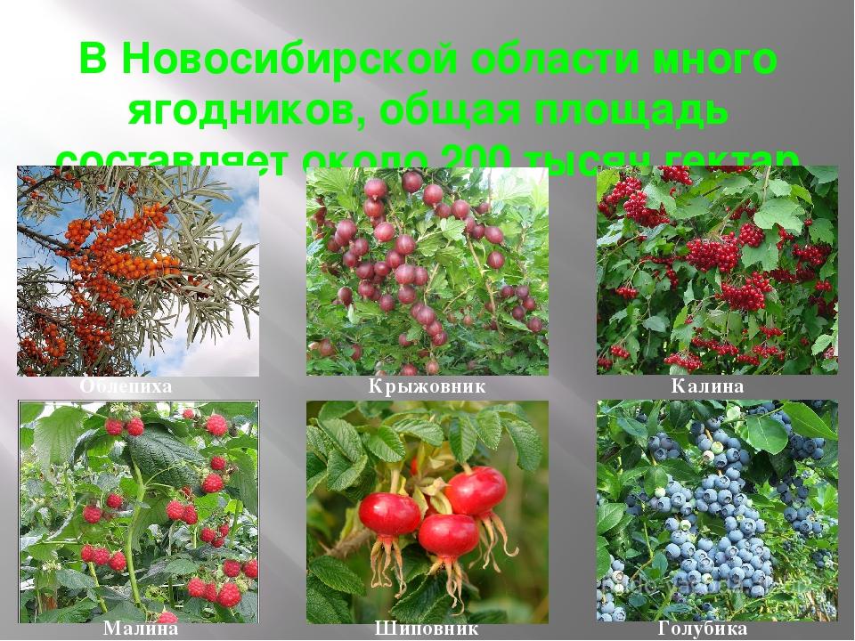 Растений с картинками новосибирской области