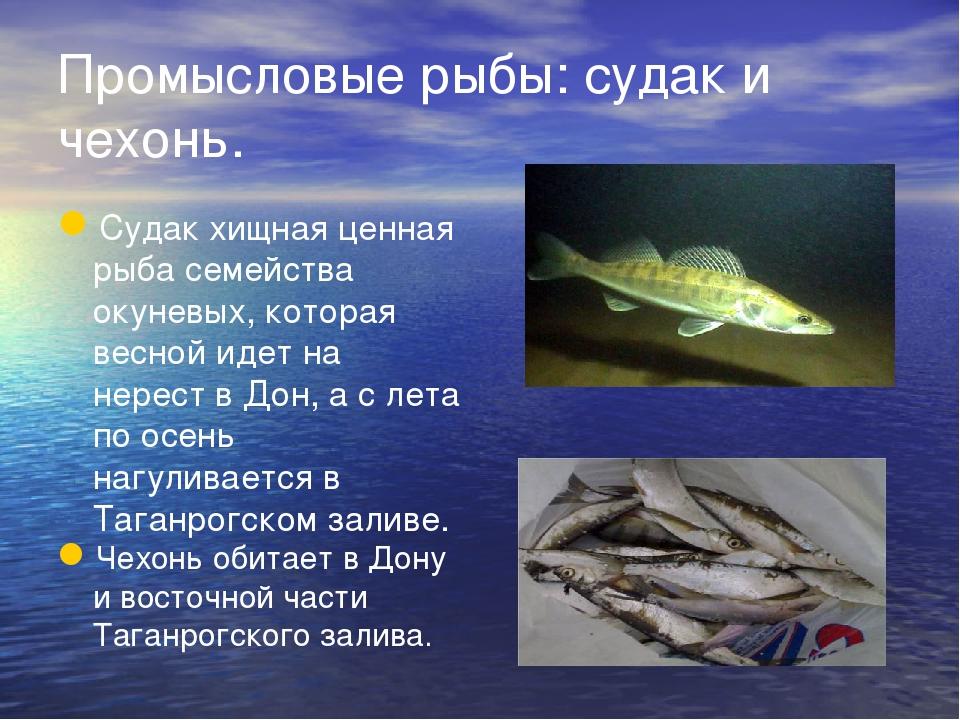 Промысловые рыбы: судак и чехонь. Судак хищная ценная рыба семейства окуневых...