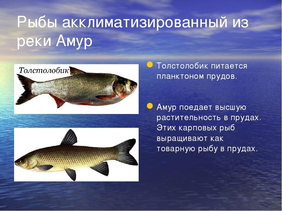 Рыбы акклиматизированный из реки Амур Толстолобик питается планктоном прудов....