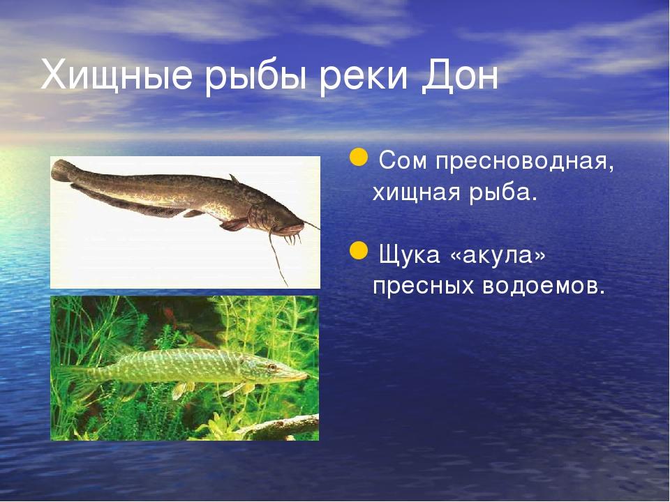 Хищные рыбы реки Дон Сом пресноводная, хищная рыба. Щука «акула» пресных водо...