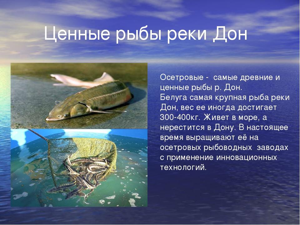 Ценные рыбы реки Дон Осетровые - самые древние и ценные рыбы р. Дон. Белуга...