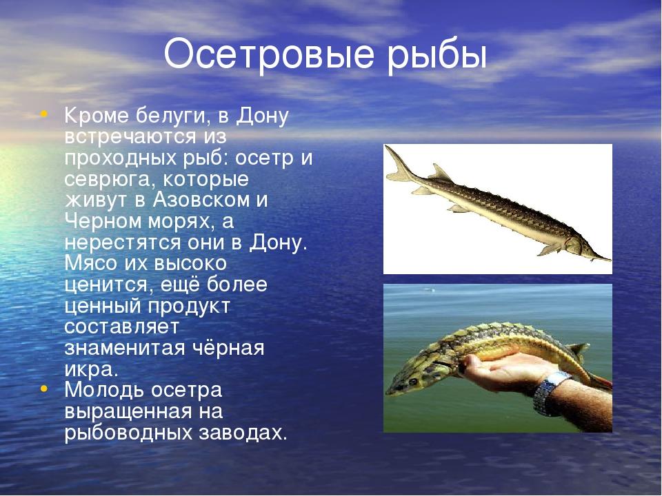 Осетровые рыбы Кроме белуги, в Дону встречаются из проходных рыб: осетр и се...