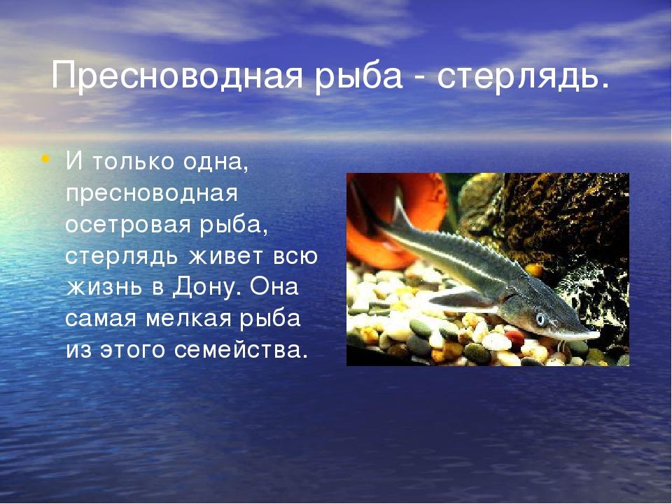 Пресноводная рыба - стерлядь. И только одна, пресноводная осетровая рыба, ст...