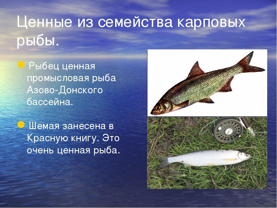 Ценные из семейства карповых рыбы. Рыбец ценная промысловая рыба Азово-Донско...