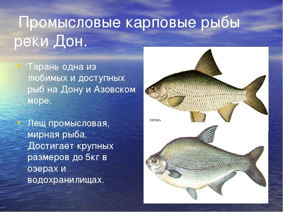 Промысловые карповые рыбы реки Дон. Тарань одна из любимых и доступных рыб н...